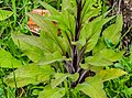 Digitalis purpurea at the Mt Alexander Route 02.jpg