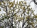 Dillenia pentagyna flowering by Dr. Raju Kasambe DSCN1362 (26).jpg