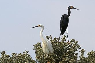 Dimorphic egret - white and black morph together