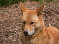 Dingo face444.jpg