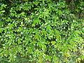 Diospyros whyteana - foliage 8.JPG