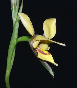 Diuris drummondii