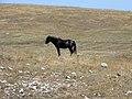 Divlji konj na Durmitoru.jpg