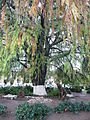 Dolores HIdalgo Cortés Tree.jpg