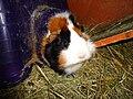 Domesticated guinea pigs 11.jpg