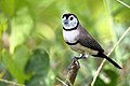 Double-barred Finch (Taeniopygia bichenovii) - Flickr - Graham Winterflood.jpg
