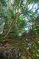 Dracaena cambodiana-Me Cung Cave (1).jpg