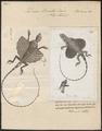 Draco lineatus - 1700-1880 - Print - Iconographia Zoologica - Special Collections University of Amsterdam - UBA01 IZ12700011.tif
