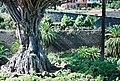 Dragon's blood tree (ДРАКОНОВО ДЕРЕВО) - panoramio (1).jpg