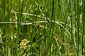 Dragonfly, Crocothemis servilia mariannae - Flickr - nekonomania.jpg