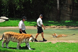 Tiger Island (Dreamworld) - Trainers interact with the tigers in the exhibit.