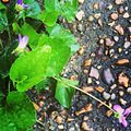 Driveway violets.JPG