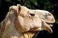 Dromedary Camel (camelus dromedarius).jpg