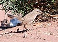 Dromoïque du désert.JPG
