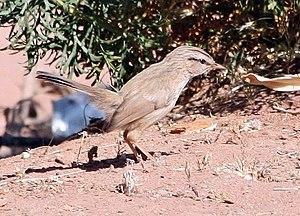 Streaked scrub warbler - Image: Dromoïque du désert
