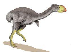 Dromornis stirtoni był największym kopalnym ptakiem nielotem – mierzył do 3 metrów i żył od 15 milionów lat do mniej niż 30.000 lat temu