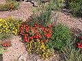 Drosanthemum speciosum P1050019.JPG