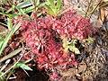 Drosera brevifolia 1.jpg