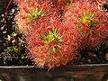 Drosera roseana.jpg