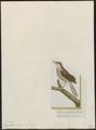 Drymoica subflava - 1700-1880 - Print - Iconographia Zoologica - Special Collections University of Amsterdam - UBA01 IZ16200029.tif