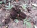 Drynaria quercifolia-1-kallar-meenmudii-kerala-India.jpg