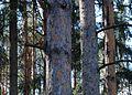 Dubna Pine Squirrel.JPG