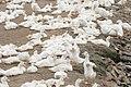 Duck farming at Huwei 20080520 05.jpg