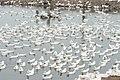 Duck farming at Huwei 20080520 06.jpg