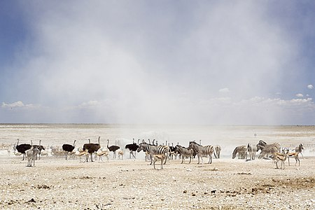 Dust cloud at the Nebrownii waterhole in Etosha National Park