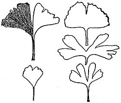 EB1911 Gymnosperms - Ginkgo biloba - leaves.jpg