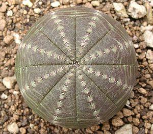Convergent evolution - Image: E obesa symmetrica ies