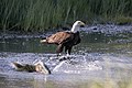 Eagle Chum 846.jpg