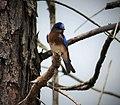 Eastern Bluebird Sialia sialis. male (37632251325).jpg