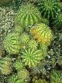 Echinopsis calochlora 2019-12-13 6733.jpg