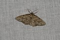 Ectropis crepuscularia (35959736545).jpg