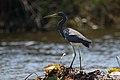 Egretta tricolor New River.JPG