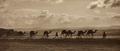 Egyptian camel transport2.tif