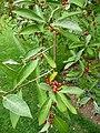 Elaeagnus montana 01 by Line1.jpg