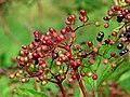 Elderberries, Corrog Wood - geograph.org.uk - 973328.jpg
