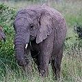Elephant amidst grass (42131921084).jpg