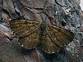 Ematurga atomaria - Common heath - Пяденица вересковая (28853390027).jpg