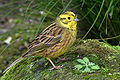 Emberiza citrinella -New Zealand -North Island-8.jpg