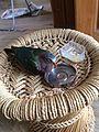 Emerald dove-1-yercaud-salem-India.jpg
