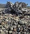 Emma Wood State Beach, rocks and driftwood roots.jpg