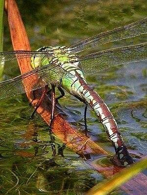 Beeston Regis - Emperor dragonfly on the pond at Beeston Common