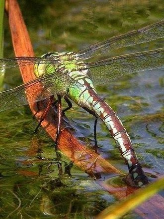 Beeston Regis - Emperor dragonfly on the pond at Beeston Common