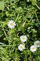 Enzing - Blume 1.jpg