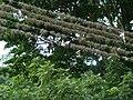 Epífitas en los cables de la luz eléctrica.JPG
