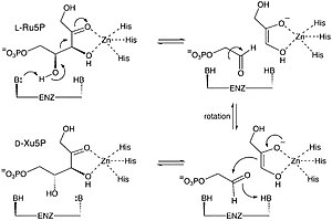 L-ribulose-5-phosphate 4-epimerase - Image: Epimerase Mechanism