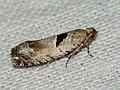 Epinotia ramella - Листовёртка разнообразная берёзовая (40555200254).jpg